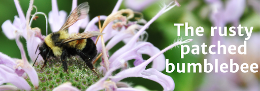 """Bee on flower with overlying text reading """"The rusty patched bumblebee"""""""